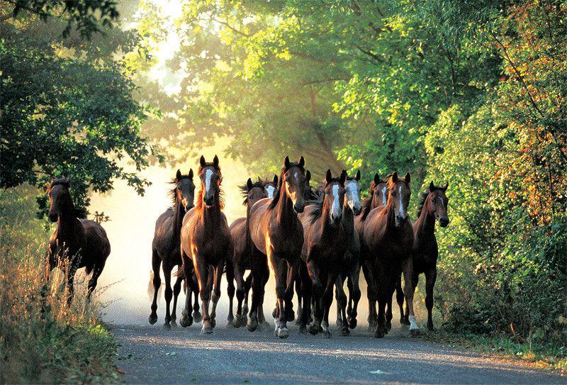 Puzzle Stádo anglických plnokrevných koní 1000 dílků Trefl